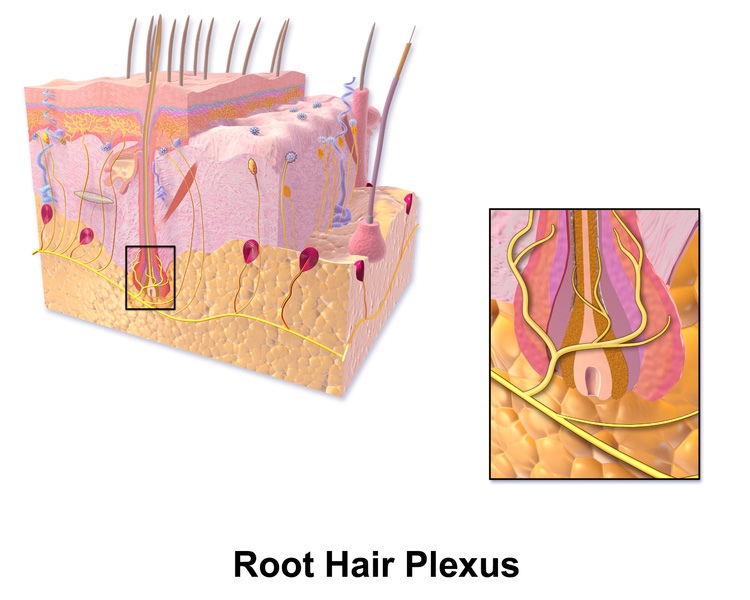 Skin Root Hair Plexus are nerves that perceive sensation