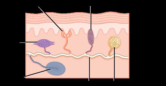 Skin sensing organs: Merkel cells, Pacinian corpuscles, Meissner corpuscles, Ruffini ending, Krause end-bulbs all produce sensation.